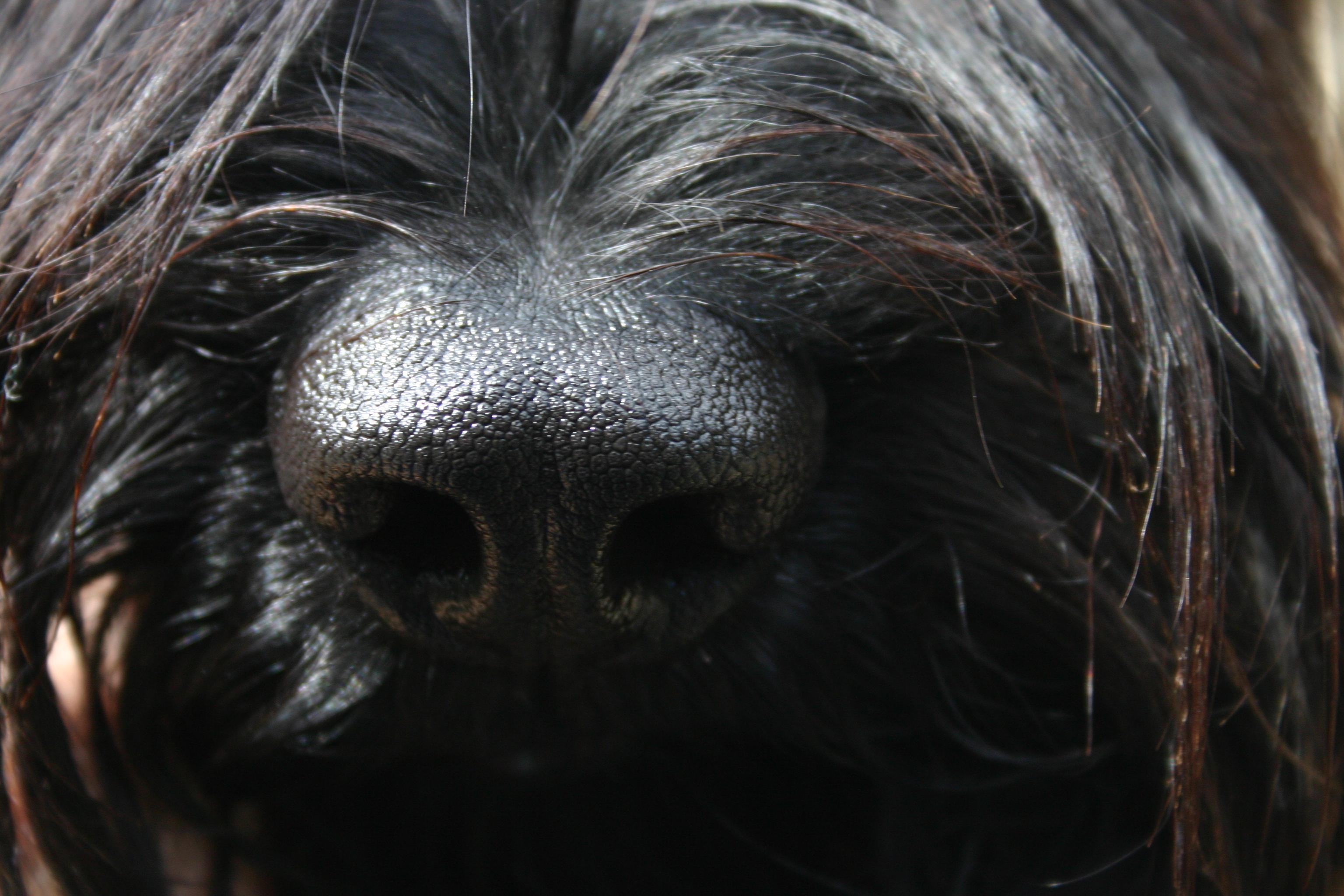 DMDS Ausstellungssieger noir/gris 2009