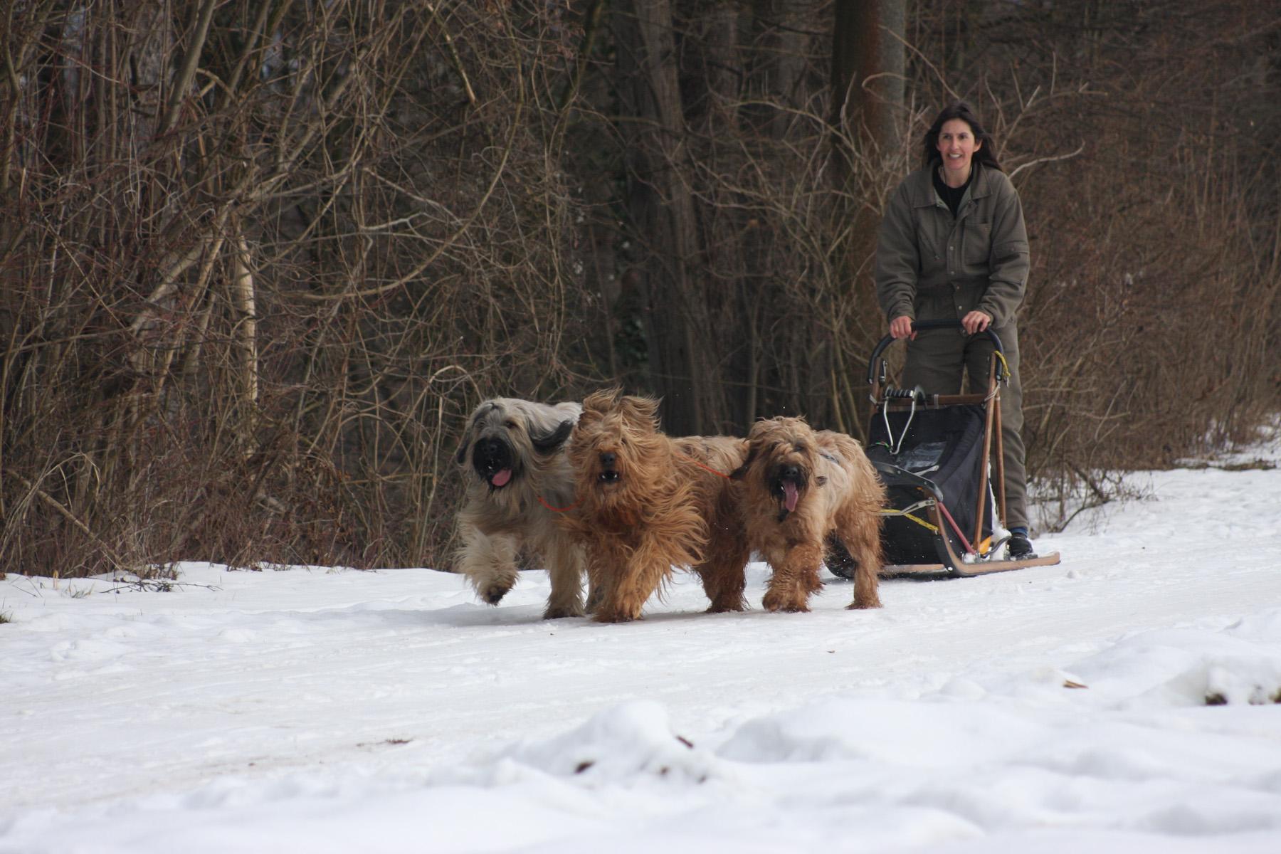 Hundeschlittentraining der Briardmusher und Leader