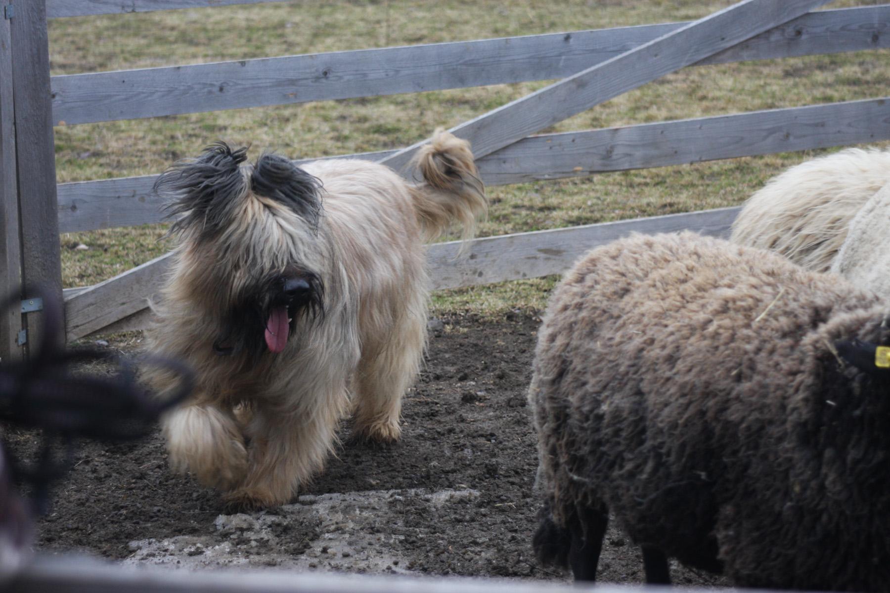 Schafe hüten – Training