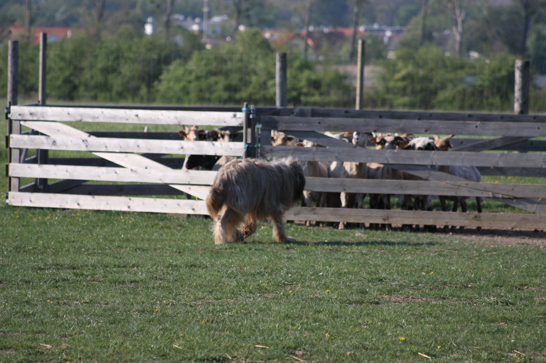 Mein Chevy war wieder an der Herde!