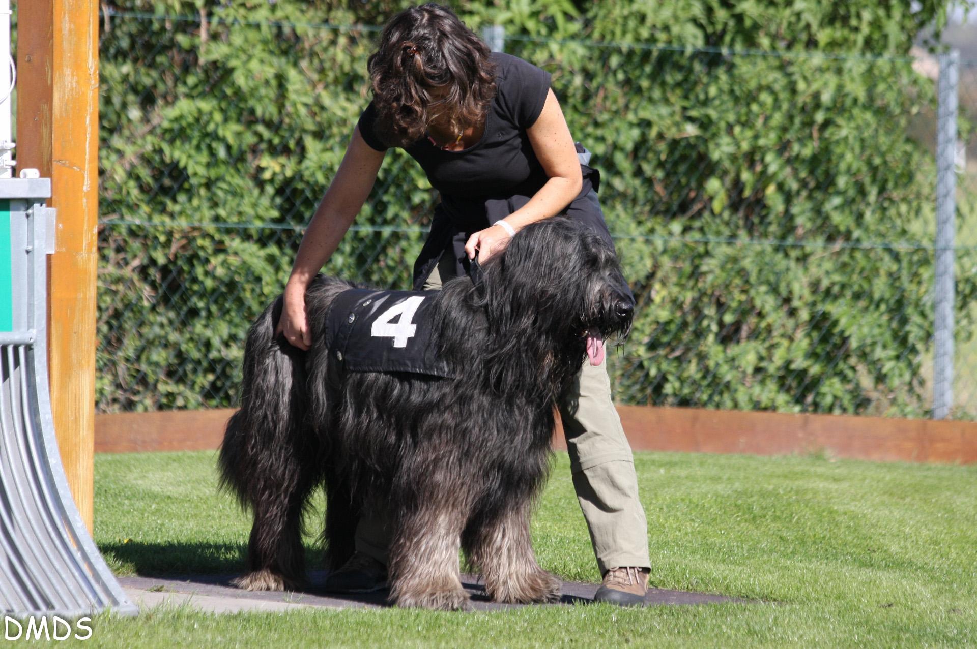 Briard Trainingstag auf der Hunde Rennbahn