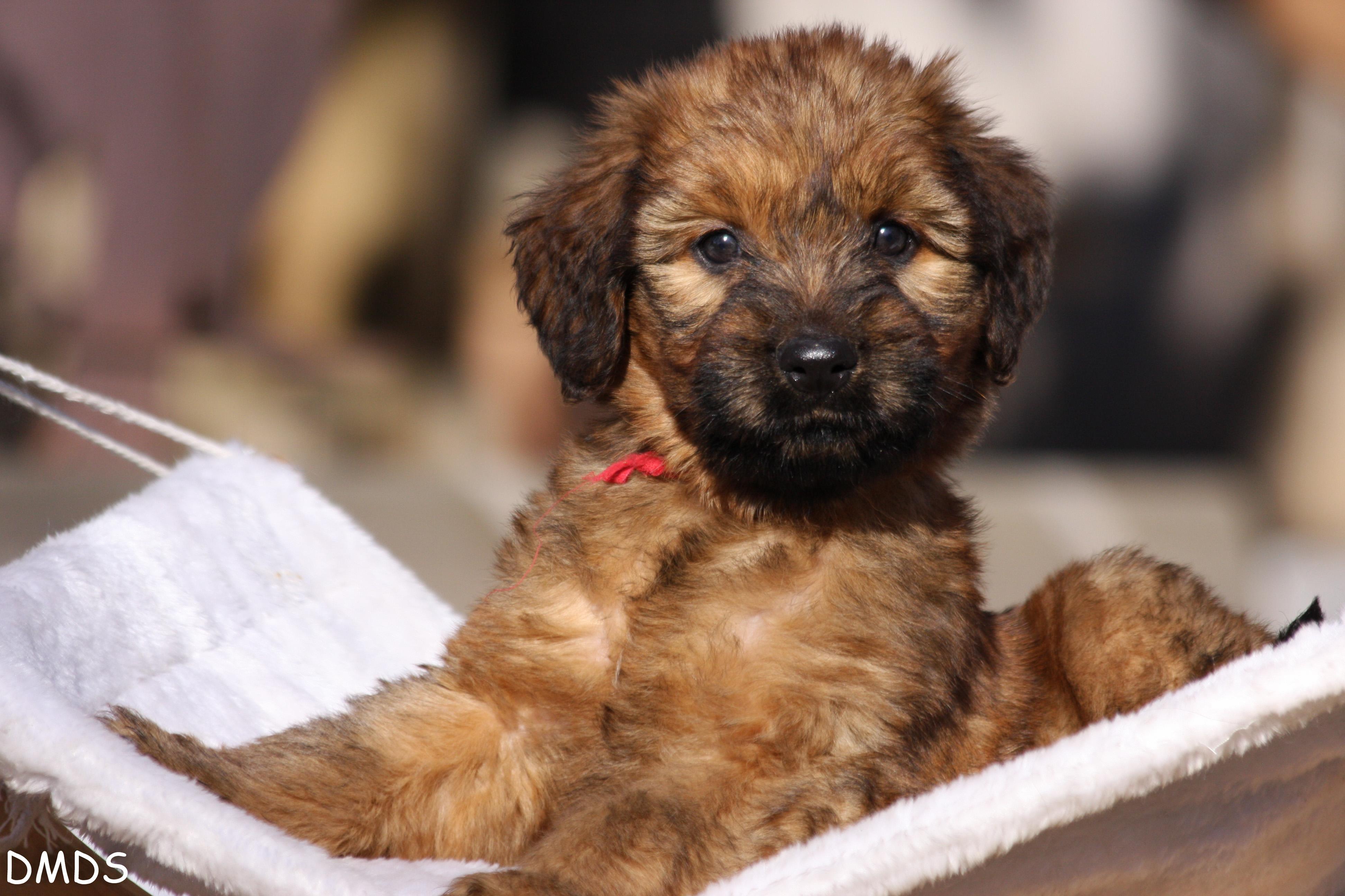 Briard Welpen – wenn ich groß bin werde ich ein Traumhund!