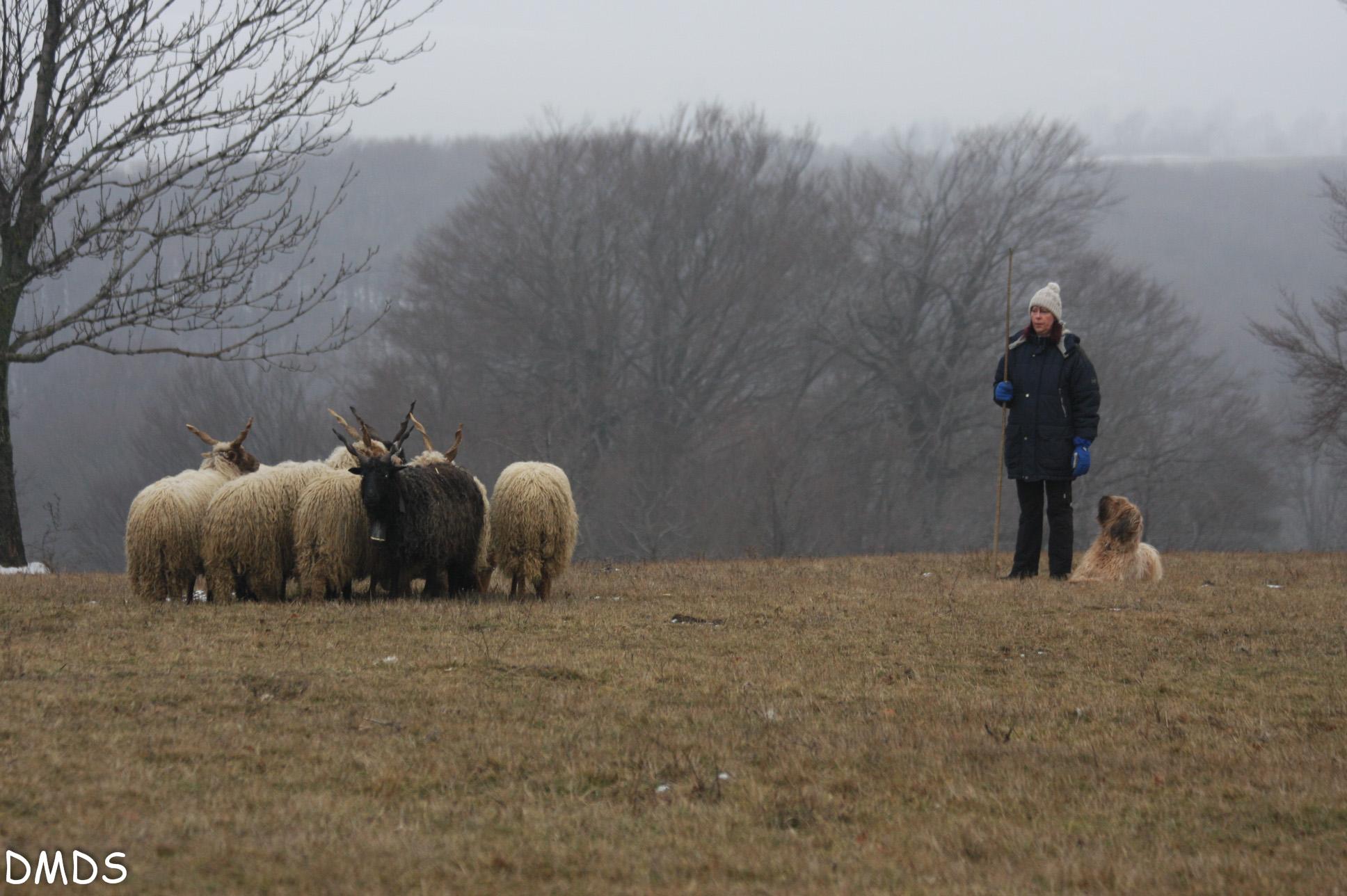 Herding Instinkt Test und HWT – Herding Working Test