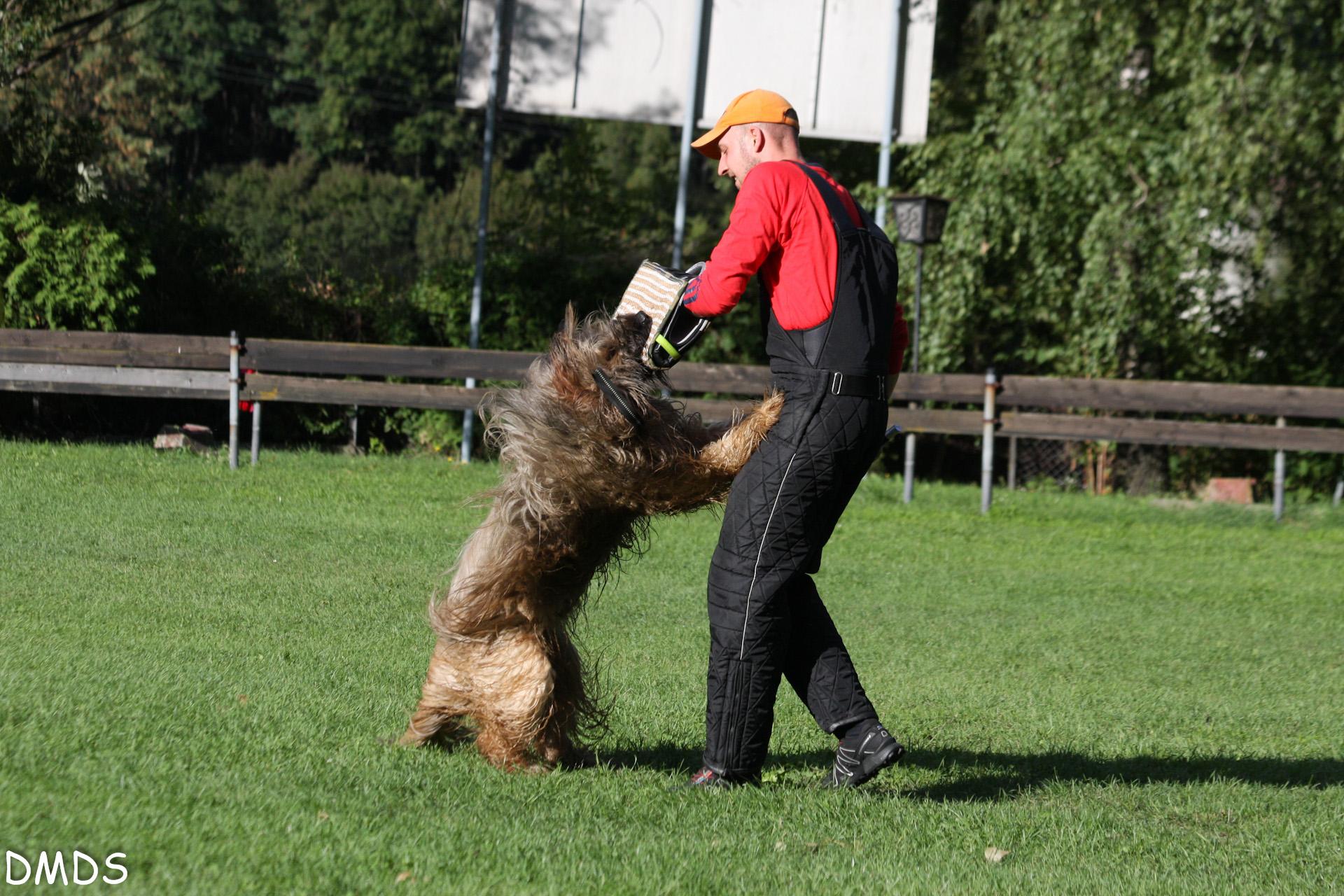 Cheveyo beim Schutzhunde Training