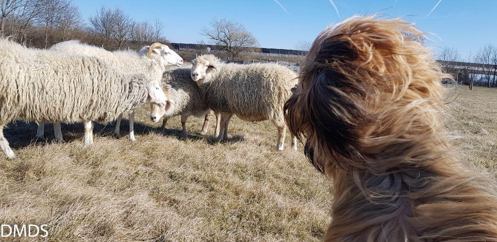 Schafe hüten