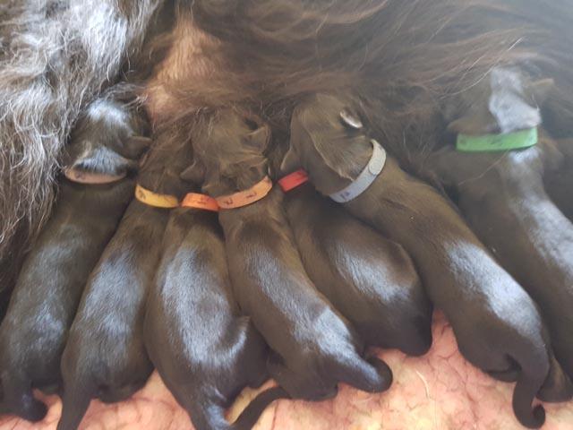 Hemiliot und Chiriguana sind Eltern von 8 Welpen!