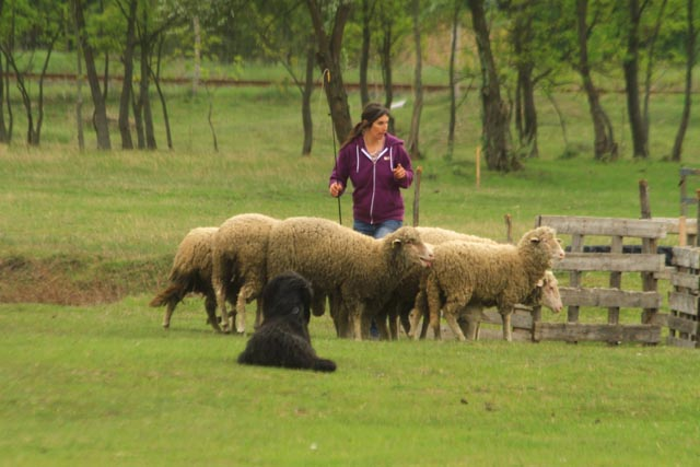 Sheep Working Dog Chiriguana Cháne die Mutter unseres X2 Wurfes