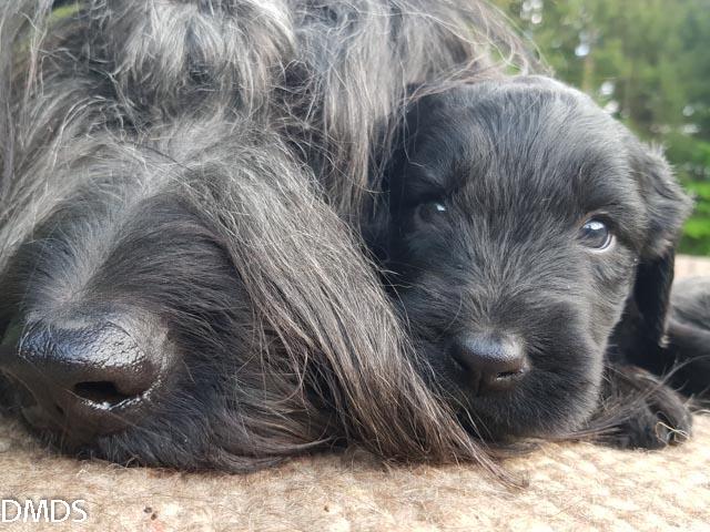 Bärli Braunbändchen – 4 Wochen alt